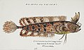 Southern Pacific fishes illustrations by F.E. Clarke 20.jpg