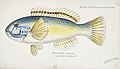 Southern Pacific fishes illustrations by F.E. Clarke 66.jpg