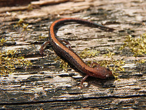 Description de l'image Southern Red-backed Salamander (Plethodon serratus).jpg.