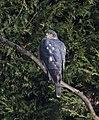 Sparrowhawk 1 (4408469547).jpg