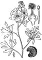 Sphaeralcea coccinea-linedrawing.png