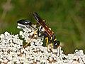Sphecidae - Sceliphron caementarium.JPG