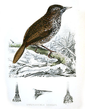 Cachar wedge-billed babbler - Illustration by H. H. Godwin-Austen (1875)