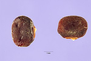 Sphenostylis stenocarpa seeds.jpg