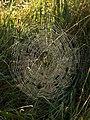 Spider's web near Aveton Gifford - geograph.org.uk - 1510315.jpg