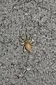 Spider (Araneae) - Guelph, Ontario 41.jpg