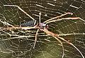 Spider brazil.jpg