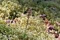 Spindelblomster. Listera cordata-1 - Flickr - Ragnhild & Neil Crawford.jpg