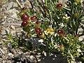 Spiny menodora, Menodora spinescens, in fruit (16108942635).jpg