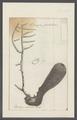 Spongia fistularis - - Print - Iconographia Zoologica - Special Collections University of Amsterdam - UBAINV0274 112 02 0028.tif
