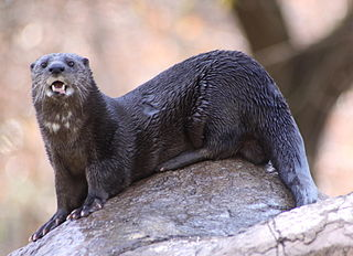 Spotted-necked otter otter native to sub-Saharan Africa