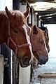 Stabled horses.jpg