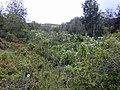 Starr-020103-0002-Montanoa hibiscifolia-habit-old Kula Rd-Maui (24463230501).jpg