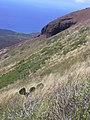 Starr-040331-0320-Opuntia ficus indica-habit-Kanaio-Maui (24700663505).jpg