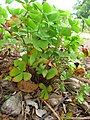 Starr-050407-6291-Marsilea villosa-habit-Maui Nui Botanical Garden-Maui (24745074265).jpg