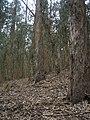 Starr-051123-5469-Eucalyptus globulus-understory-Haleakala Ranch-Maui (24222277533).jpg