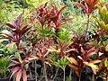 Starr-060928-0443-Cordyline fruticosa-red leaf habit-County Nursery Kahului-Maui (24748606892).jpg