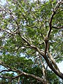 Starr-080417-4087-Jacaranda mimosifolia-canopy-Makawao-Maui (24813576811).jpg