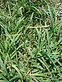 Starr-080531-4785-Eleusine indica-habit-Charlie barracks Sand Island-Midway Atoll (24817381591).jpg