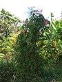 Starr-090604-8918-Antigonon leptopus-flowering habit-Puunene-Maui (24594727299).jpg