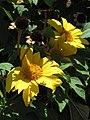 Starr-090609-0357-Tithonia diversifolia-flowers-Haiku-Maui (24336362073).jpg