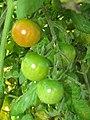 Starr-090801-3486-Solanum lycopersicum-fruit in garden-Olinda-Maui (24675357300).jpg