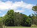 Starr-090804-3810-Acacia melanoxylon-Niftal plantings-MISC HQ Piiholo-Maui (24853357422).jpg