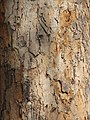 Starr-090818-4469-Pterocarpus indicus-bark-Kihei-Maui (24604891369).jpg