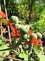 Starr-110215-1378-Jatropha podagrica-flowers and seeds forming-KiHana Nursery Kihei-Maui (25076213625).jpg