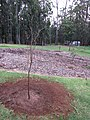 Starr-110217-1531-Prunus persica var persica-Red Baron just planted-Olinda-Maui (24983140471).jpg