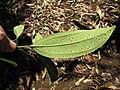 Starr-110330-4061-Cinnamomum verum-leaves-Garden of Eden Keanae-Maui (25081182265).jpg