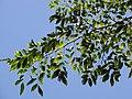 Starr-110330-4124-Pterocarpus indicus-leaves-Garden of Eden Keanae-Maui (24987960251).jpg