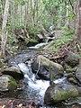 Starr-120425-9397-Syzygium cumini-trees along stream-Waikapu Valley-Maui (25140384165).jpg