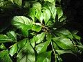 Starr-120522-6074-Duranta erecta-leaves-Iao Tropical Gardens of Maui-Maui (24775422229).jpg