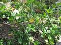 Starr-120522-6140-Gardenia sp-habit-Iao Tropical Gardens of Maui-Maui (24516365513).jpg