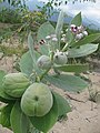 Starr-130422-1990-Calotropis procera-leaves flowers and fruit-Kahului-Maui (24842574299).jpg