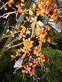 Starr-141027-2654-Chrysalidocarpus lutescens-fruit-Nahiku-Maui (24616213384).jpg