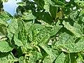 Starr-150401-0090-Solanum americanum-leaves-Frigate Pt Sand Island-Midway Atoll (24904501039).jpg