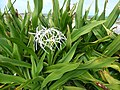 Starr-150403-0355-Crinum asiaticum-flowers-Near Pier Eastern Island-Midway Atoll (25250153446).jpg