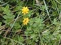 Starr 020808-0013 Lotus uliginosus.jpg