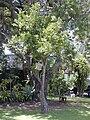 Starr 030418-0162 Citrus reticulata.jpg