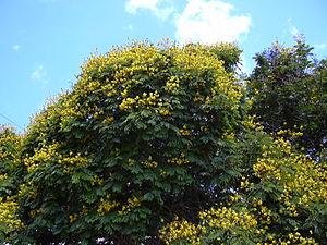 Peltophorum pterocarpum - Image: Starr 030514 0025 Peltophorum pterocarpum