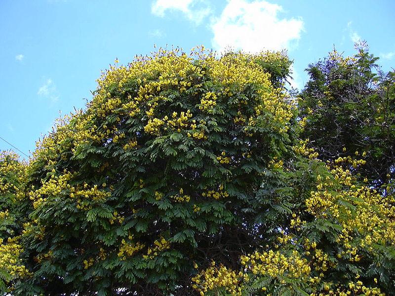 http://upload.wikimedia.org/wikipedia/commons/thumb/7/7c/Starr_030514-0025_Peltophorum_pterocarpum.jpg/800px-Starr_030514-0025_Peltophorum_pterocarpum.jpg