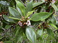 Starr 030628-0046 Myoporum sandwicense.jpg