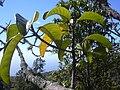 Starr 031111-0076 Melicope knudsenii.jpg