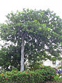 Starr 031204-0006 Cupaniopsis anacardioides.jpg