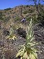 Starr 040723-0042 Verbascum thapsus.jpg