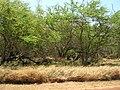 Starr 050516-1308 Prosopis pallida.jpg