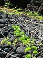 Starr 050924-4459 Jacquemontia ovalifolia subsp. sandwicensis.jpg
