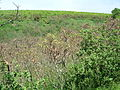 Starr 060416-7724 Abutilon grandifolium.jpg